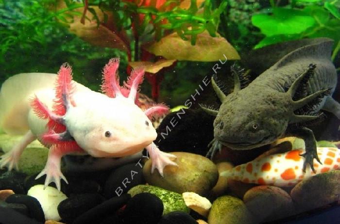 содержание аксолотлей в аквариуме